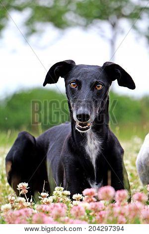 Beautiful Black Galgo Is Lying In A Clover Field