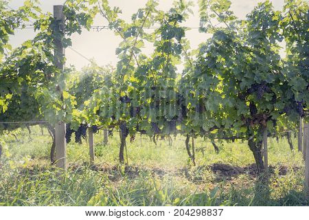 Harvest in autumn vineyard, beautiful natural background