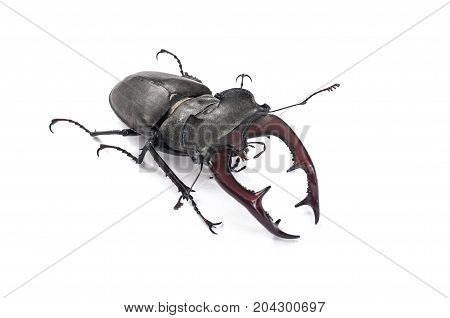 Close-up of male bug (Lucanus cervus). On white background