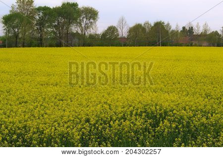 Canola at field blooming during spring time