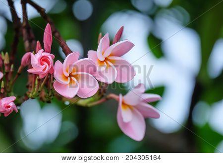 Plumeria flowers on the tree, flowers in the rainy season.