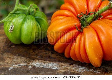 Fresh ripe ribbed heirloom tomato beefsteak-type or slicer with sepal. tomato RAF. two of them green and orange.