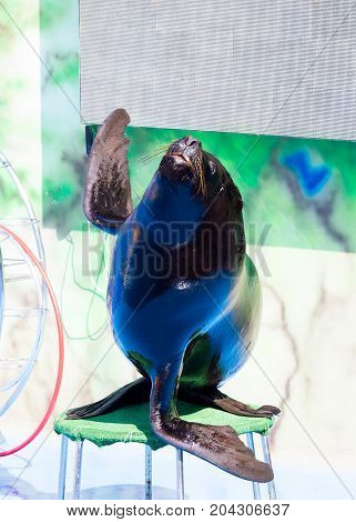 Trained Sea Lion, Seals On The Platform Of The Dolphinarium During The Presentation