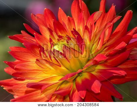 beautiful leaves of the dalia background, beautiful, beauty,