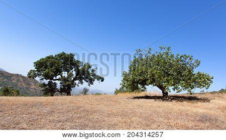figs and oak tree overlooking panorama Morocco figs oak