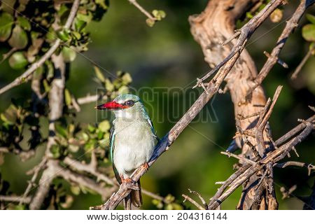 Woodland Kingfisher Sitting On A Branch.