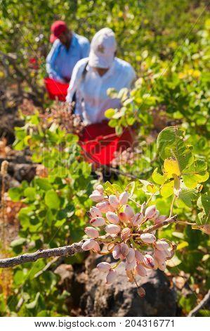 Pistachio Harvest Season