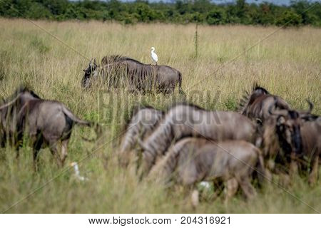 Blue Wildebeests Standing In The Grass With A Egret.