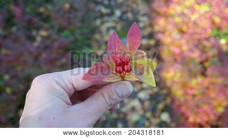 A dwarf cornel (cornus suecica) in autumn colors held in woman hand