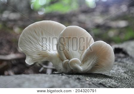 Pleurotus ostreatus, the oyster mushroom grows on tree in forest. Healthy and delicious mushroom in nature
