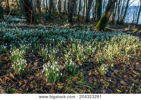 Snowdrops on the forest floor at Culzean.