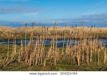 Bullrushes on Greenan beach Ayr in winter.