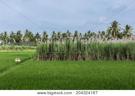 Mysore India - October 27 2013: In Senapathihalli village rice cane sugar and Coconut palm grow in close proximity under bluish sky. Shades of green and a beige scarecrow.