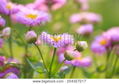The Purple Alpine Aster Aster Alpinus Close Up At The Sunset. Background