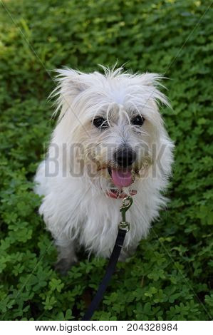 Small white dog in field of clover. Maltese terrier mix.