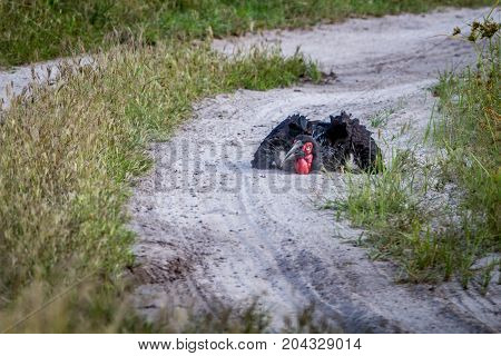 Southern Ground Hornbill Taking A Dust Bath.