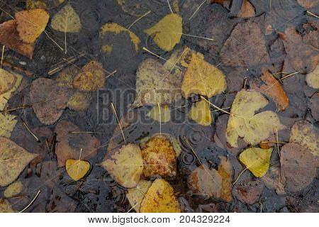 Brown fallen leaves in muddy water. Autumn nature rainy day.