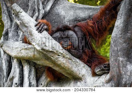 Big redhead hairy male orangutan with large cheek sits on a large tree near the