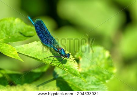 Male banded demoiselle or Calopteryx splendens at rest
