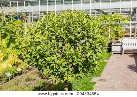Green Tree Of Kumquat