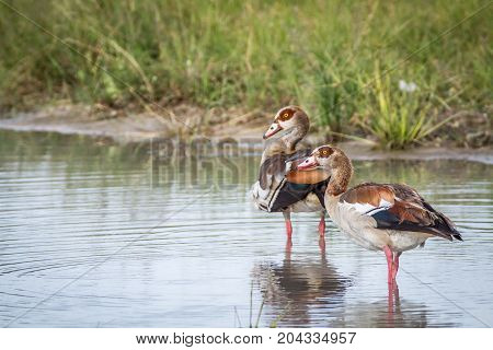 Egyptian Geese Standing In The Water.