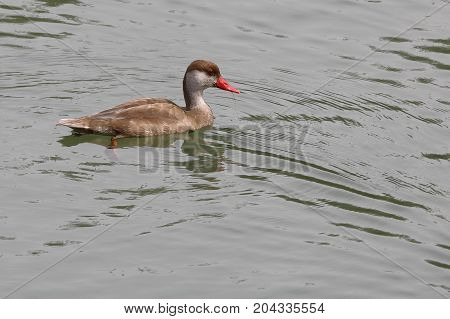 Male Red Crested Pochard in eclipse plumage