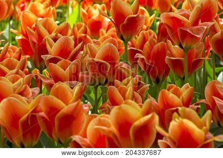 Tulips Of A Greigii Calypso Species
