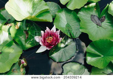 Beautiful Waterlily Or Lotus Flower, Soft Morning Ligth.