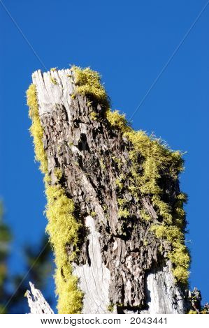 Crater Lake Tree With New Life