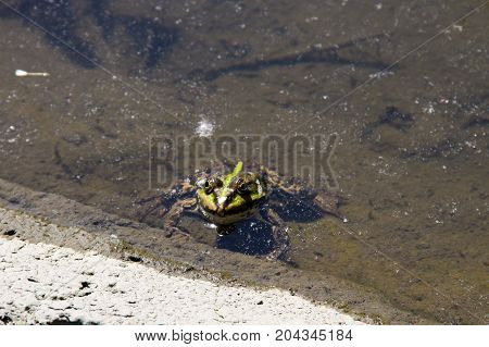Green frog in a water of swamp