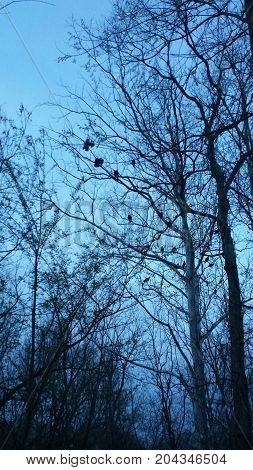 Ravens nesting at night in a tree