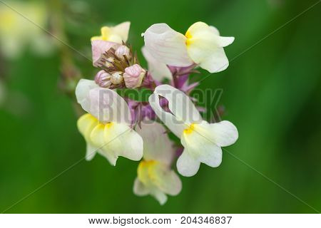 group of yellow white and pink flowers Frangipani, Plumeria on a sunny day with natural background