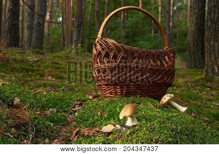 Two  Boletus Edulis Mushroom Near Basket