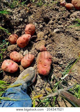 Digging Red Pontiac potatoes during fall garden harvest