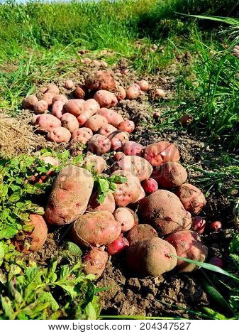 A beautiful row of fresh dug Red Pontiac potatoes from Wisconsin garden