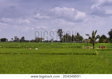 Mysore India - October 27 2013: Four women weed large rice paddy under bluish sky with white clouds. Wide view over rural green landscape. Red memorial stones left in field.