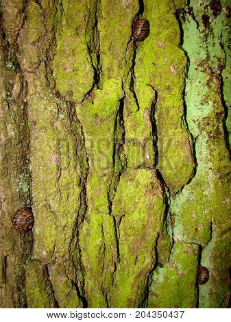 Three grape snails are hidden in the folds of the green bark of the tree.