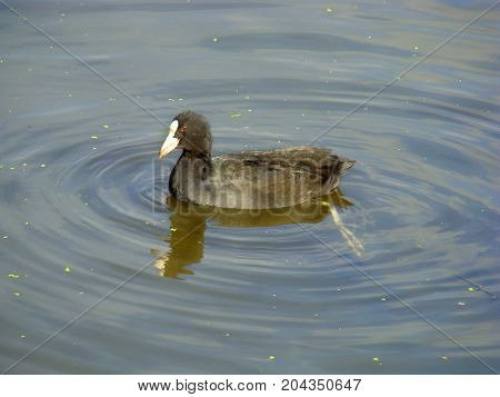 A black waterfowl with a white nose and red eyes floats on the water.