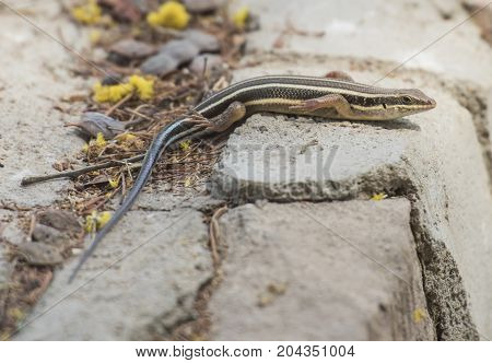 Blue-tailed Skink Lizard On A Rock Wall