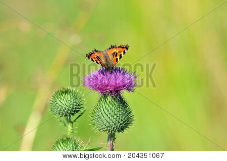 Carduus is a genus of flowering plants in the aster family, Asteraceae. Butterfly Small Tortoiseshell. The small tortoiseshell is a colourful Eurasian butterfly in the family Nymphalidae.