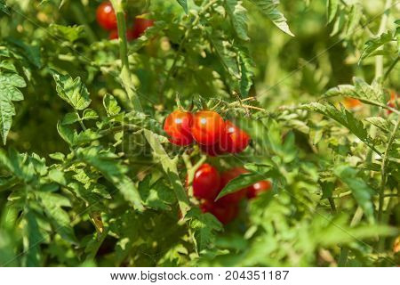 fresh small red tomatoes on a bush, bunch of ripe red tomatoes on a green bush