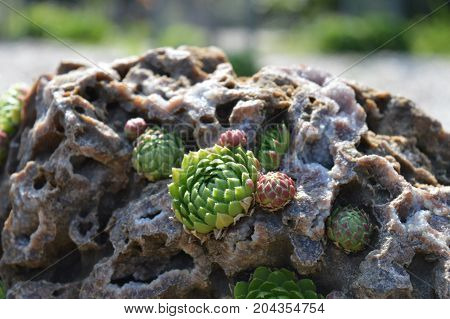 Rosettes growing in the rock in the garden