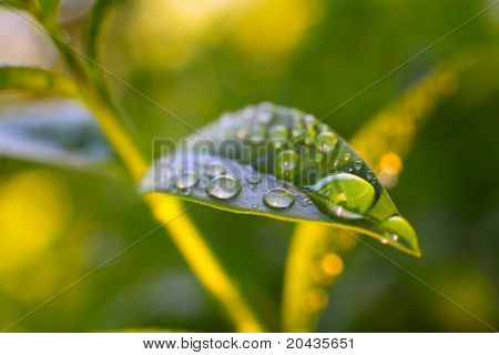 Extremely close up of a rain drops on a tea leaves in warm sunset light. Macro with shallow DOF.