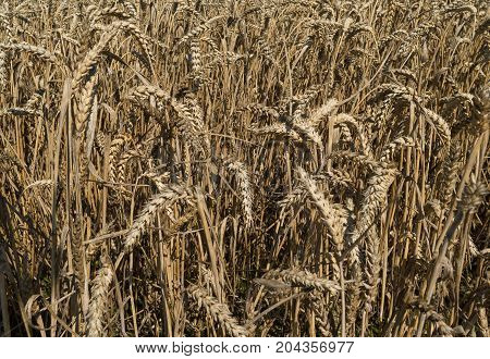 Field of ripe grain, Triticum, groupe of grain