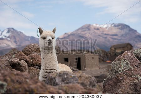 Cute Llama Alpaca Portrait against mountains. Altiplano Bolivia South America