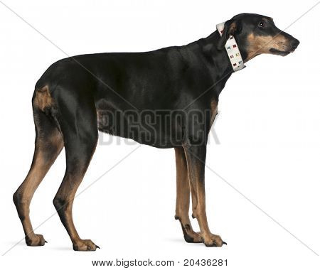 Doberman Pinscher, 9 years old, standing in front of white background