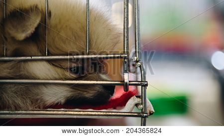Puppy Pomeranian Breed In Cage Dog With Sadness