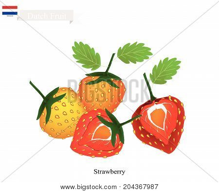 Dutch Fruit, Illustration of Fresh Strawberry. One of The Famous Fruits of Netherlands.
