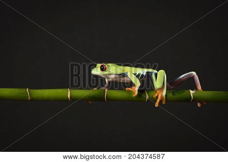 A red eyed tree frog balancing and walking along a bamboo cane against a black background