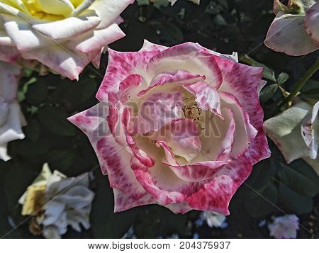 White rose. Garden rose. Floral background. Pink rose. Rose background. Rose.